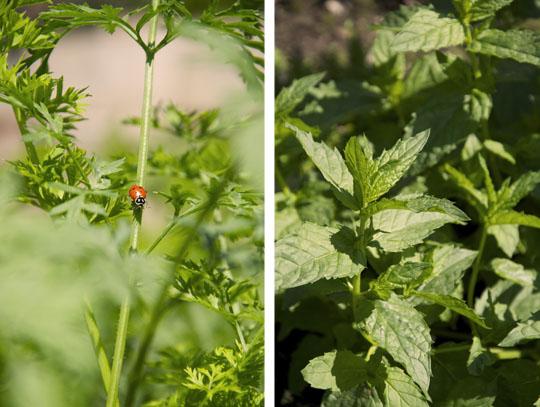 ladybugandmint.jpg