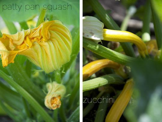 pattypansquashzucchini.jpg