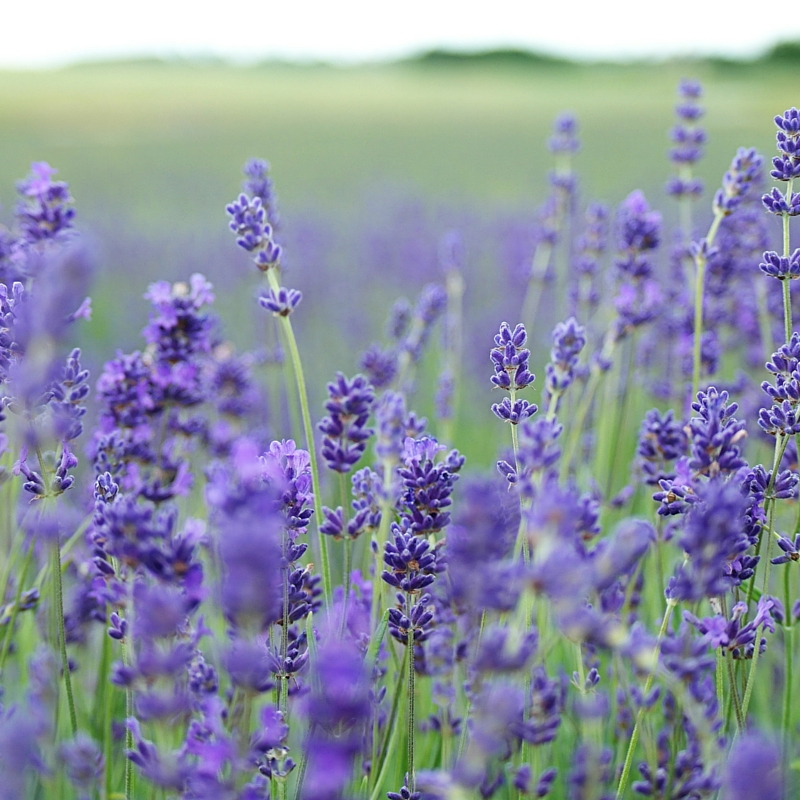 lavender oil for scar treatment