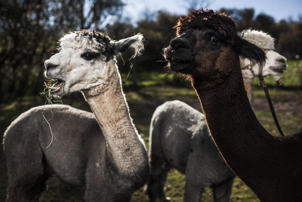 Imagine_Alpacas_eddie_adams_workshop_2015 (11 of 11).jpg