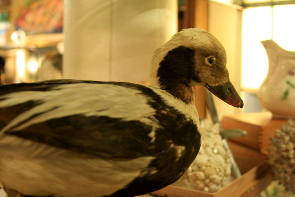 Hiden Galleries: vintage stuffed duck