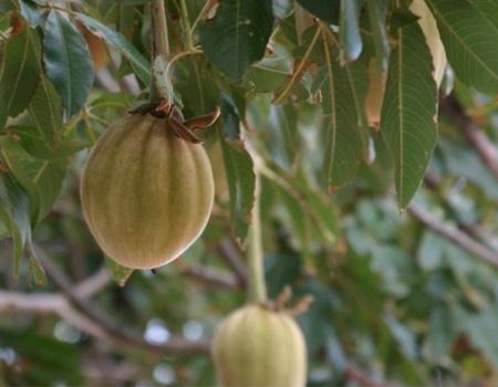 baobab-fruit.jpg