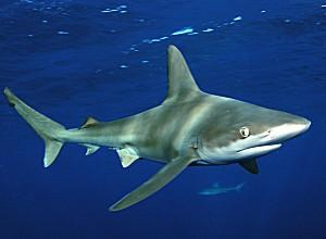 sandbar_shark.jpg