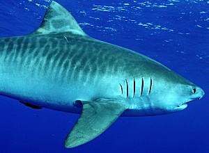 tiger_shark.jpg