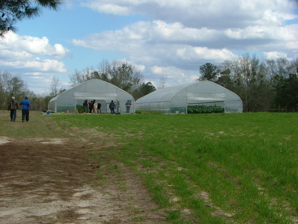 Yep, those are collards in high tunnels at the  farm of Russell and Jewell Bean in Eufaula, AL, February 2013.JPG