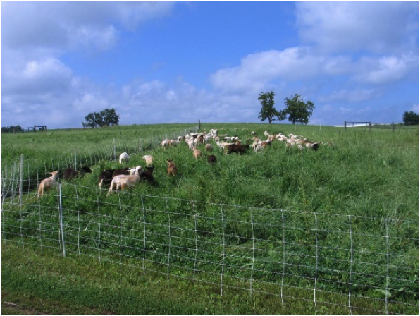 Summer time and the grazing is easy at Four Hills Farm.