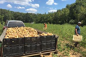Butternut harvest at Rise 'N Shine Farm.