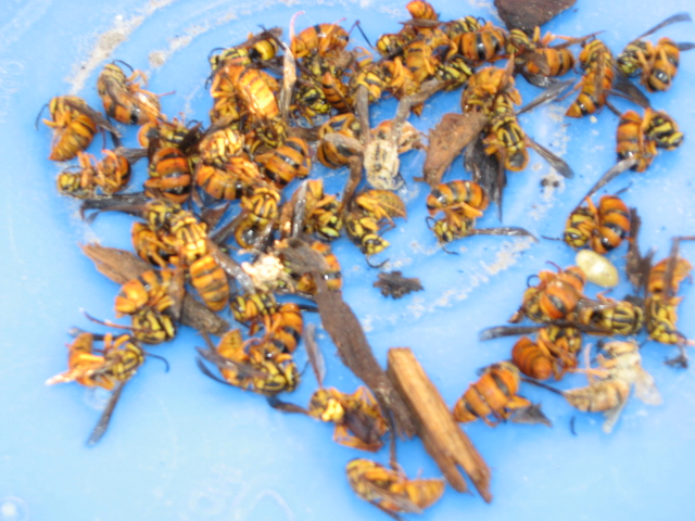 Southern Yellow Jacket Queens