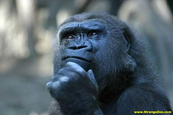 gorilla deep thought.jpg