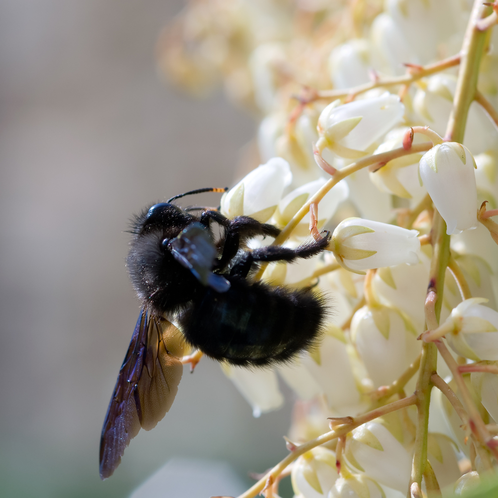 Carpenter Bee.jpg