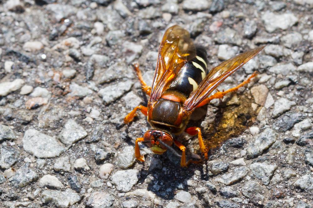 Cicada Killer Wasp.jpg