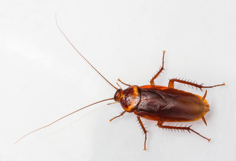 american roach.jpg