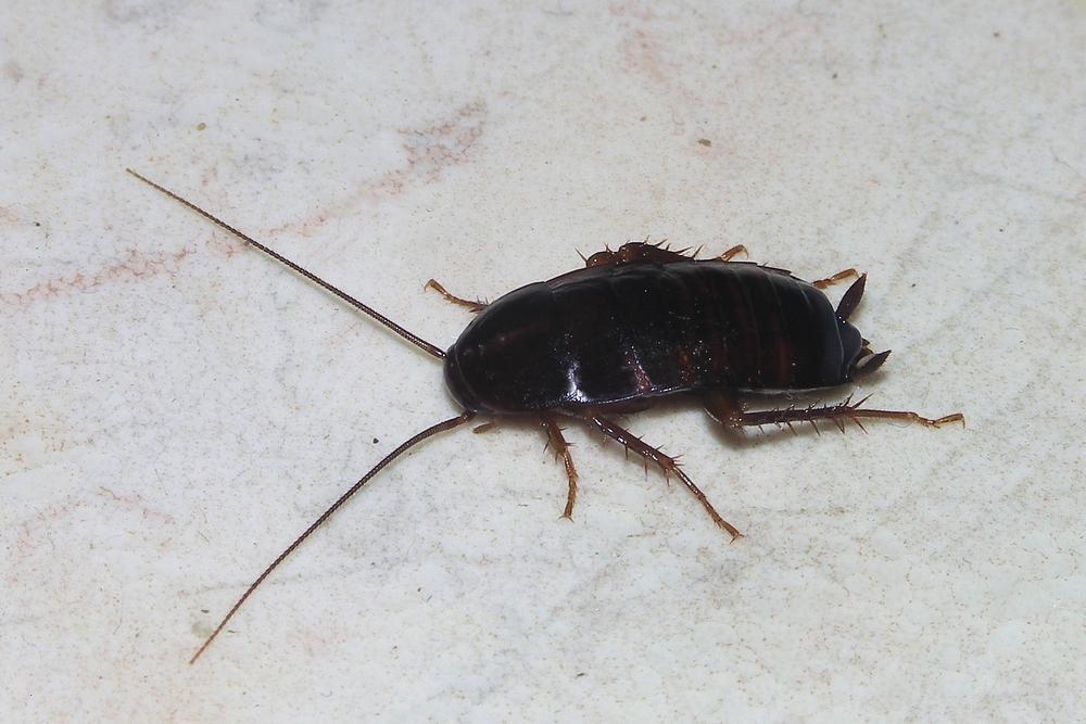 Oriental Roach.jpg