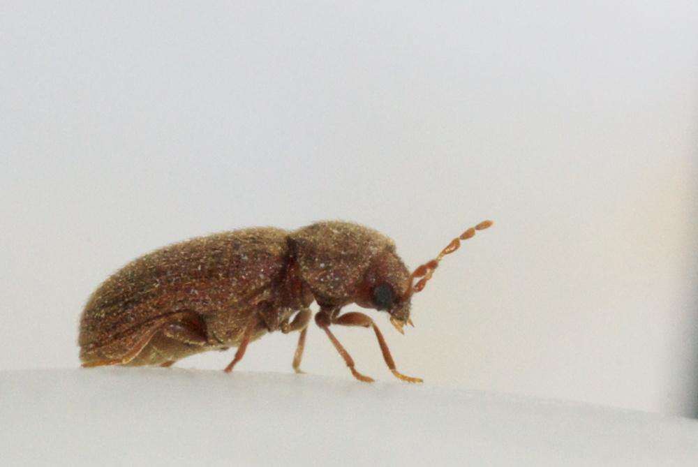drugstore beetle.jpg