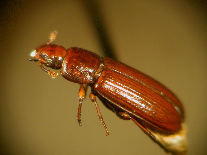 Red Flour Beetle.jpg