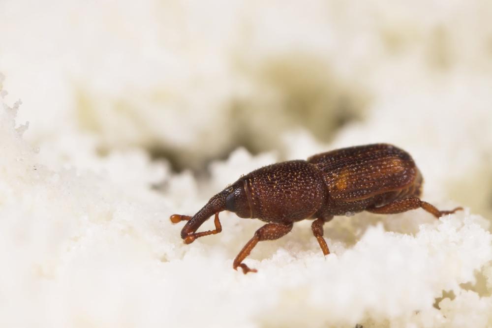 Rice Weevil.jpg