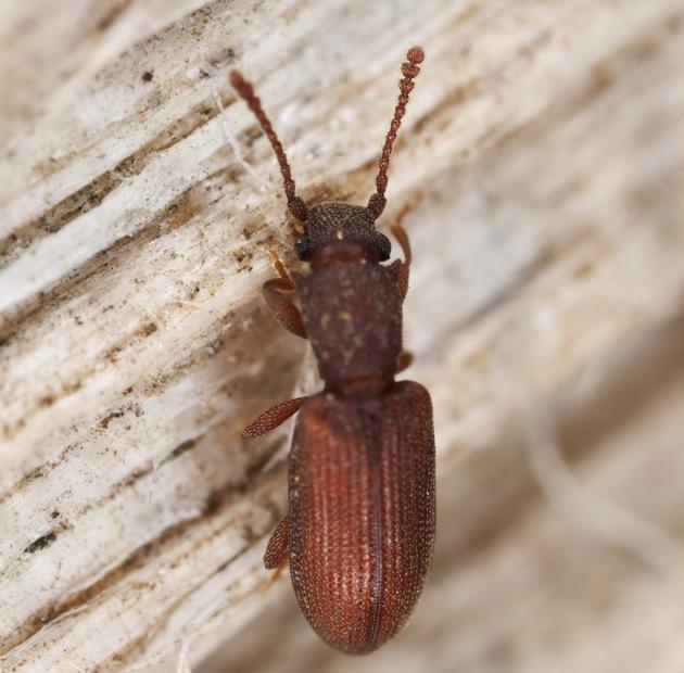 sawtooth grain beetle.jpg