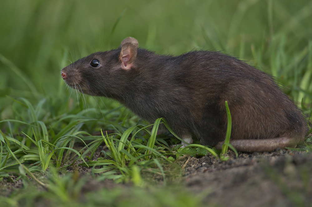 roof rat.jpg