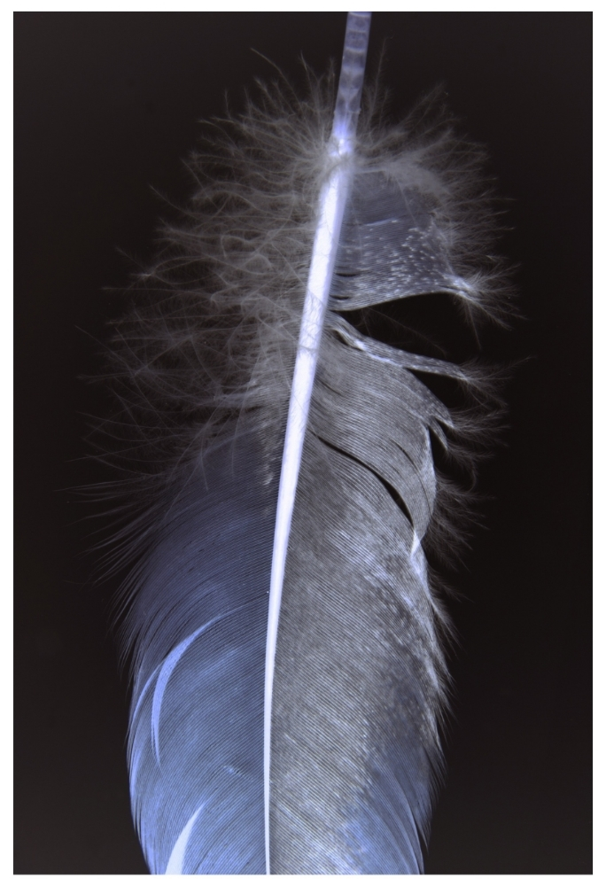 FEATHERS 003A , 2013,archival digital print (photograph) on Innova ultrasmooth paper, mounted on Sintra with UV matte coating,37.75 x 25.75 inches (unframed),38.75 x 26.75 inches (framed),edition of 10,$3000. (unframed),$3500. (framed)
