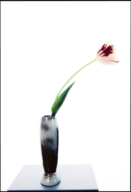 Single Tulip Red and White , 2014, archival pigment print on Epson Hot press Bright Paper, 38 x 26 inches (unframed), 39 x 27 inches (framed), $3500. (unframed), $4000. (framed)