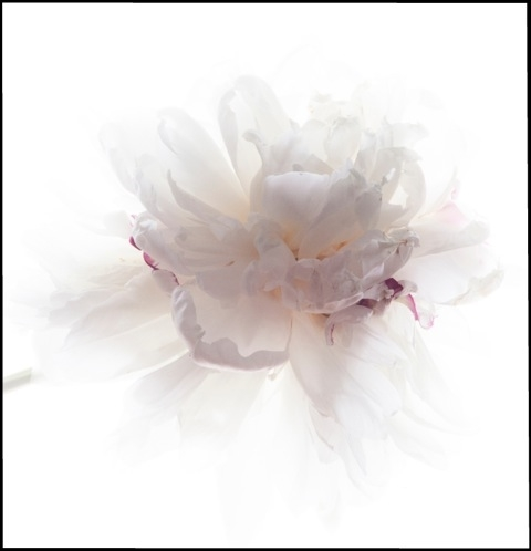 White Peony #002 , 2014, archival pigment print on Epson on Hot press Bright Paper mounted on Sintra with UV matte coating, 32 x 32 inches (unframed), 33 x 33 inches (framed), edition of 10, $3500. (unframed), $4000. (framed)