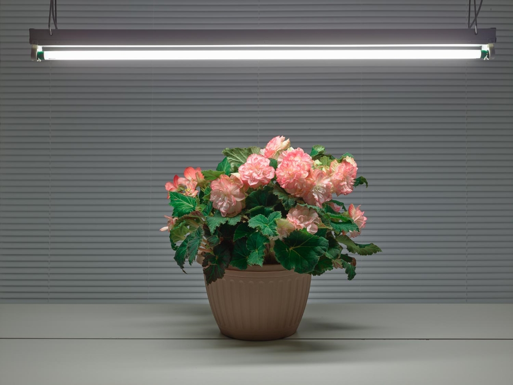 Fluorescent Still Life with Pink Begonias ,  2015,   archival pigment print,   33 x 42.5 inches,   $3400. (unframed),   edition of 5,   $4200. (framed)