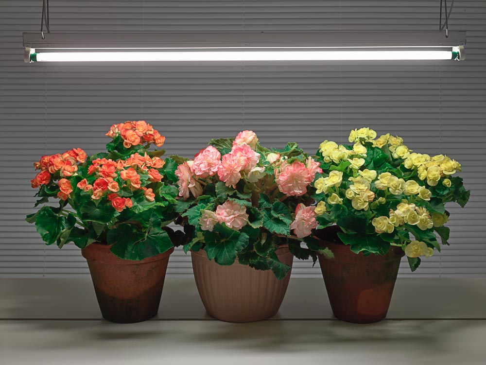 Fluorescent Still Life with Orange, Pink and Yellow Begonias  ,   2015,   archival pigment print (photograph),   33 x 42.5 inches,   $3400. (unframed),   edition of 5,   $4200. (framed)