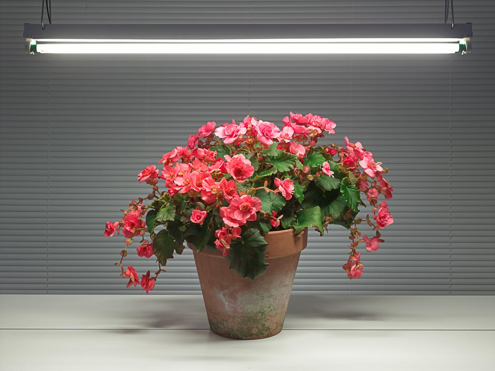 Fluorescent Still Life with Pink Begonia , 2015, archival pigment print (photograph), edition of 5, 33 x 42.5 inches, $3400. (unframed), $4200. (framed)