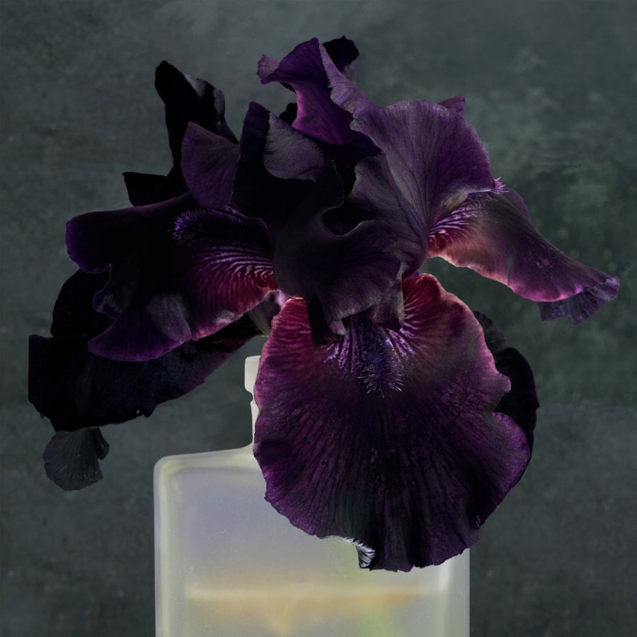 Purple Iris 2 , 2017, dye transfer on aluminum (photograph), 44 x 44 inches, edition of 7, $5000.