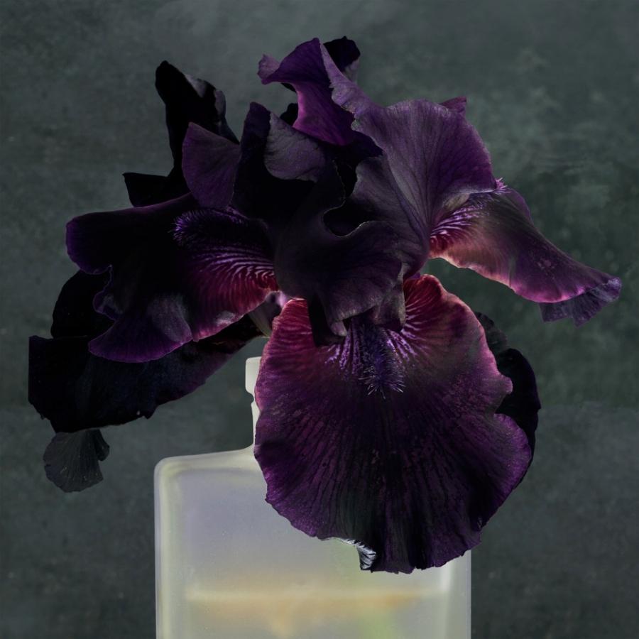 Purple Iris 2 , 2017, dye transfer on aluminum, 44 x 44 inches, edition of 10, $5000.