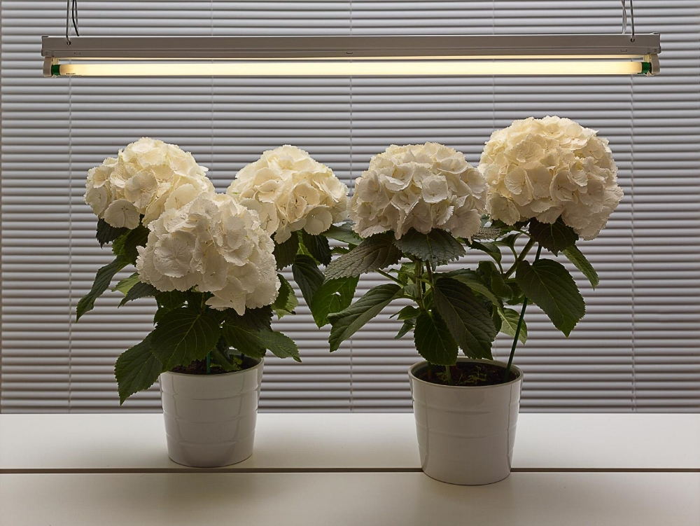 Fluorescent Still Life with White Hydrangeas , 2017, dye sublimation print on aluminum (photograph), edition 1/5, 30 x 40 inches (unframed), 30.5 x 40.5 inches (framed) $4500. (framed)