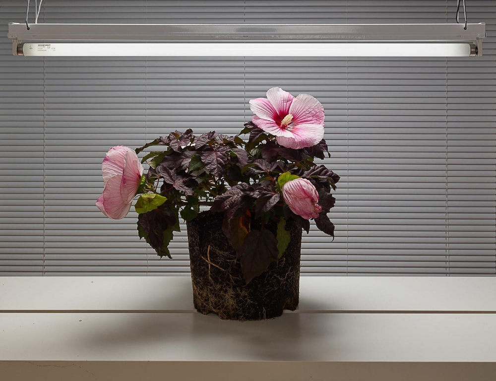 Fluorescent Still Life with Pink Hibiscus , 2017, dye sublimation print on aluminum (photograph), edition 1/5, 30 x 40 inches (unframed), 30.5 x 40.5 inches (framed) $4500. (framed)