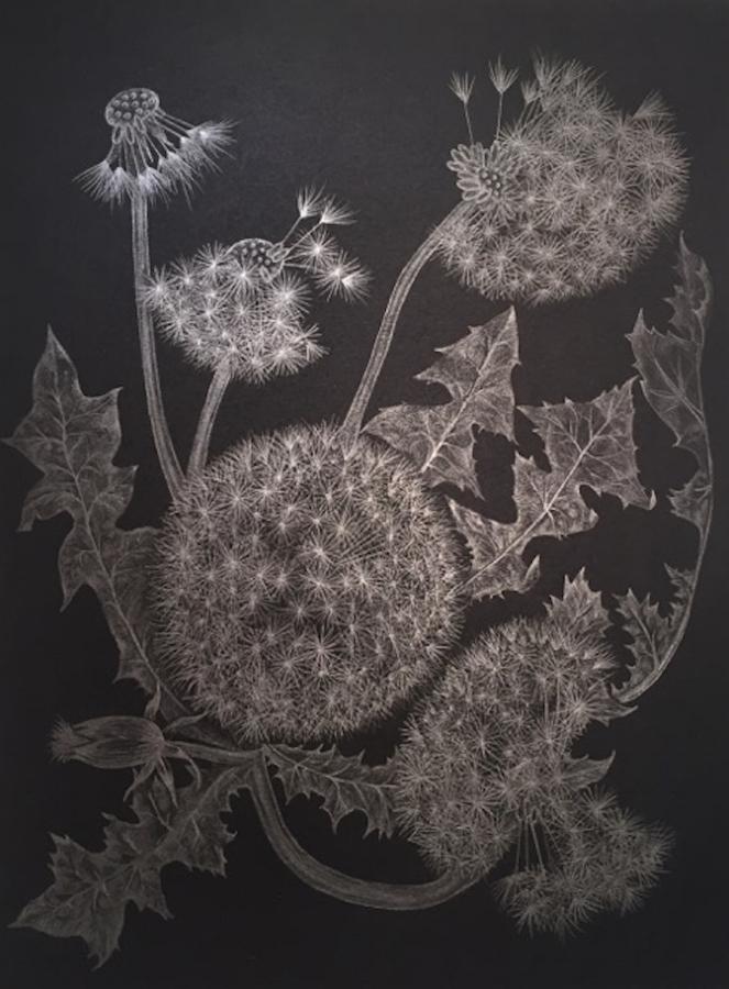 Five Dandelions , 2017, graphite on black paper, 12 x 9 inches (unframed), $1000. (unframed), 14.5 x 11.75 inches (framed), $1225. (framed) (sold)