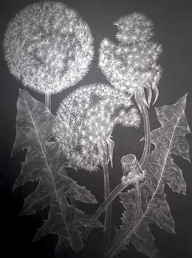 Three Dandelions with Bud , 2017, graphite on black paper, 12 x 9 inches (unframed), $1000. (unframed), 14.5 x 11.75 inches (framed), $1225. (framed)