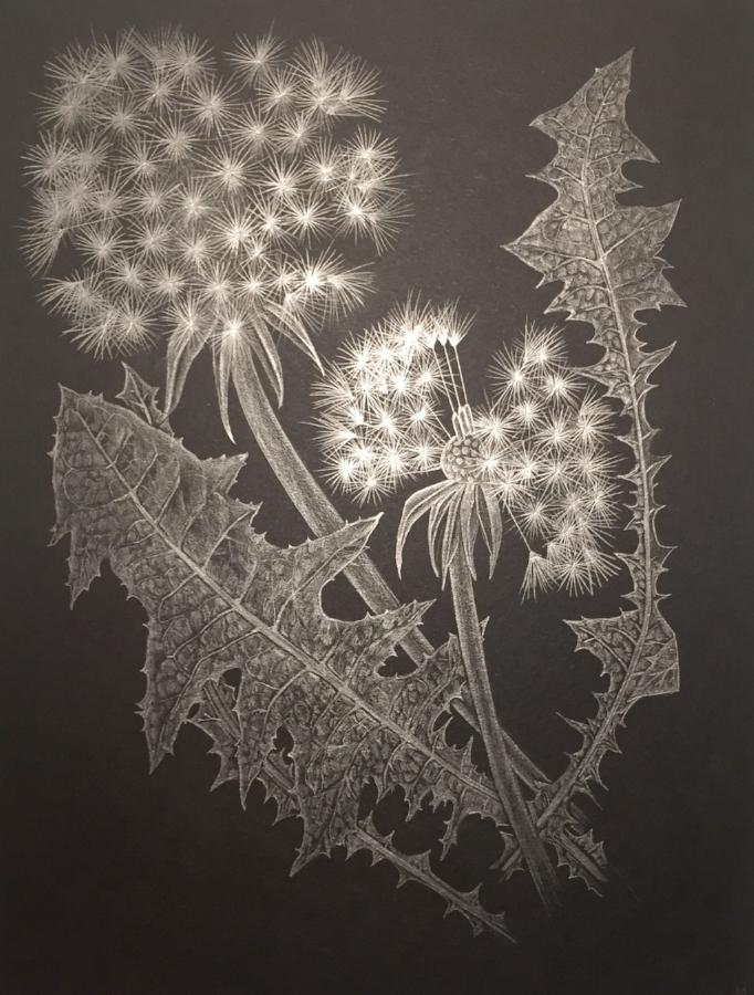 Two Dandelions C , 2018, graphite on black paper, 12 x 9 inches (unframed), $1000. (unframed), 14.5 x 11.75 inches (framed), $1225. (framed)