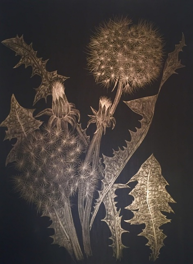 Two Dandelions with Buds , 2018, goldpoint (14kt) on black paper, 12 x 9 inches (unframed), $1000. (unframed), 14.5 x 11.75 inches (framed), $1225. (framed) (sold)