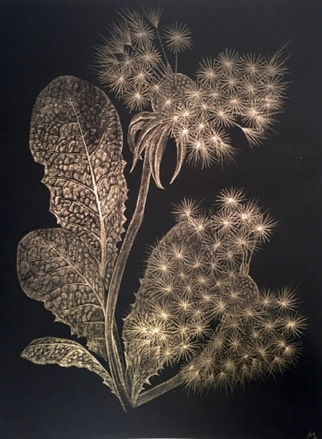 Two Dandelions A , 2018, goldpoint (14kt) on black paper, 12 x 9 inches (unframed), $1000. (unframed), 14.5 x 11.75 inches (framed), $1225. (framed) (on hold)