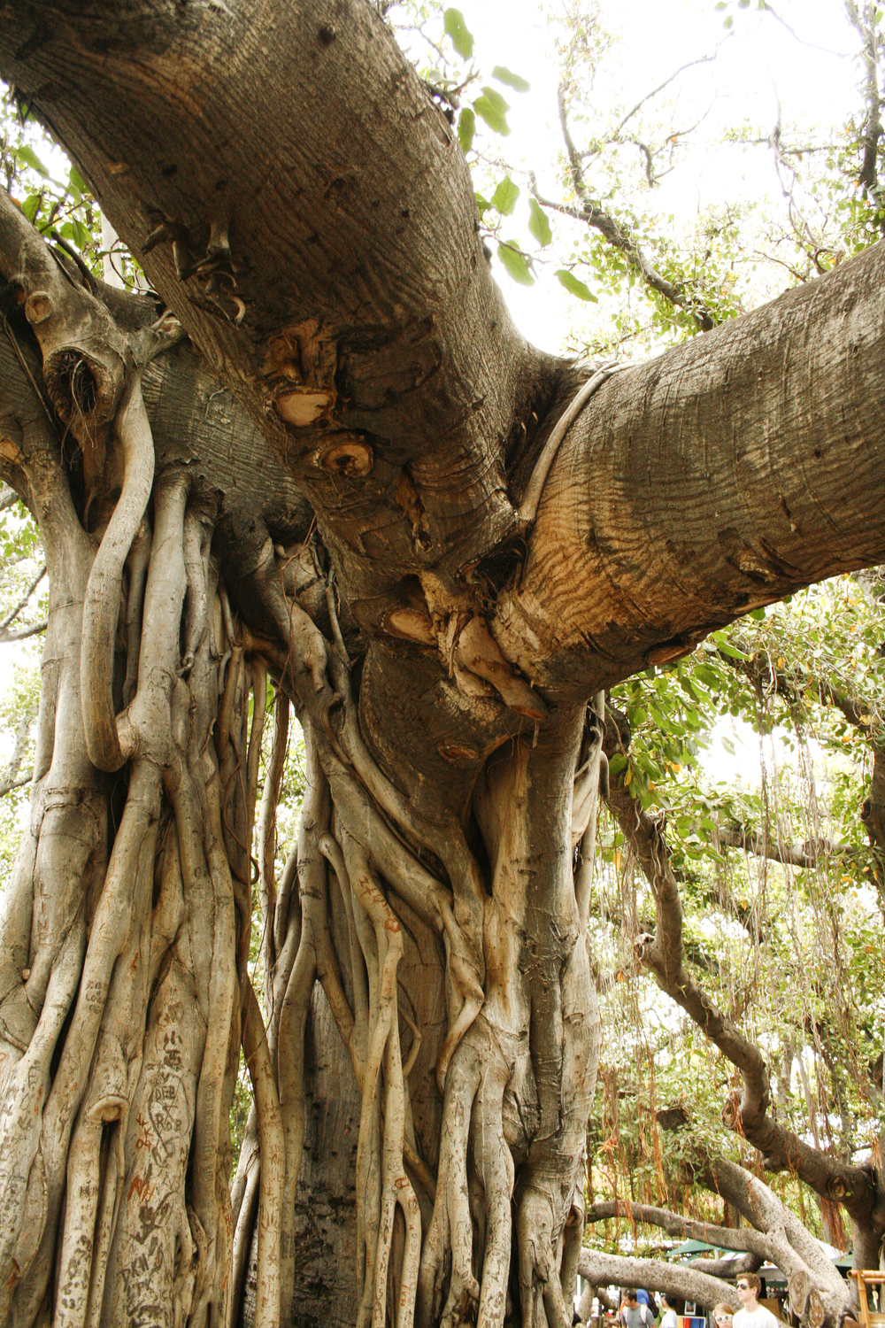 Banyan tree branch and root.