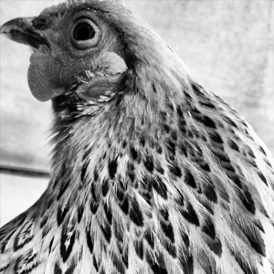 Here is my winning photograph on Instagram of Goldie the Buff Brahma Bantam chicken!