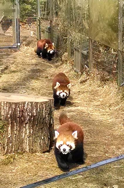 Red Pandas - Prospect Park Zoo