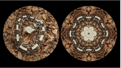Leslie Thornton,  Binocular (Gabon Viper) , video still, 2010, HD video loop