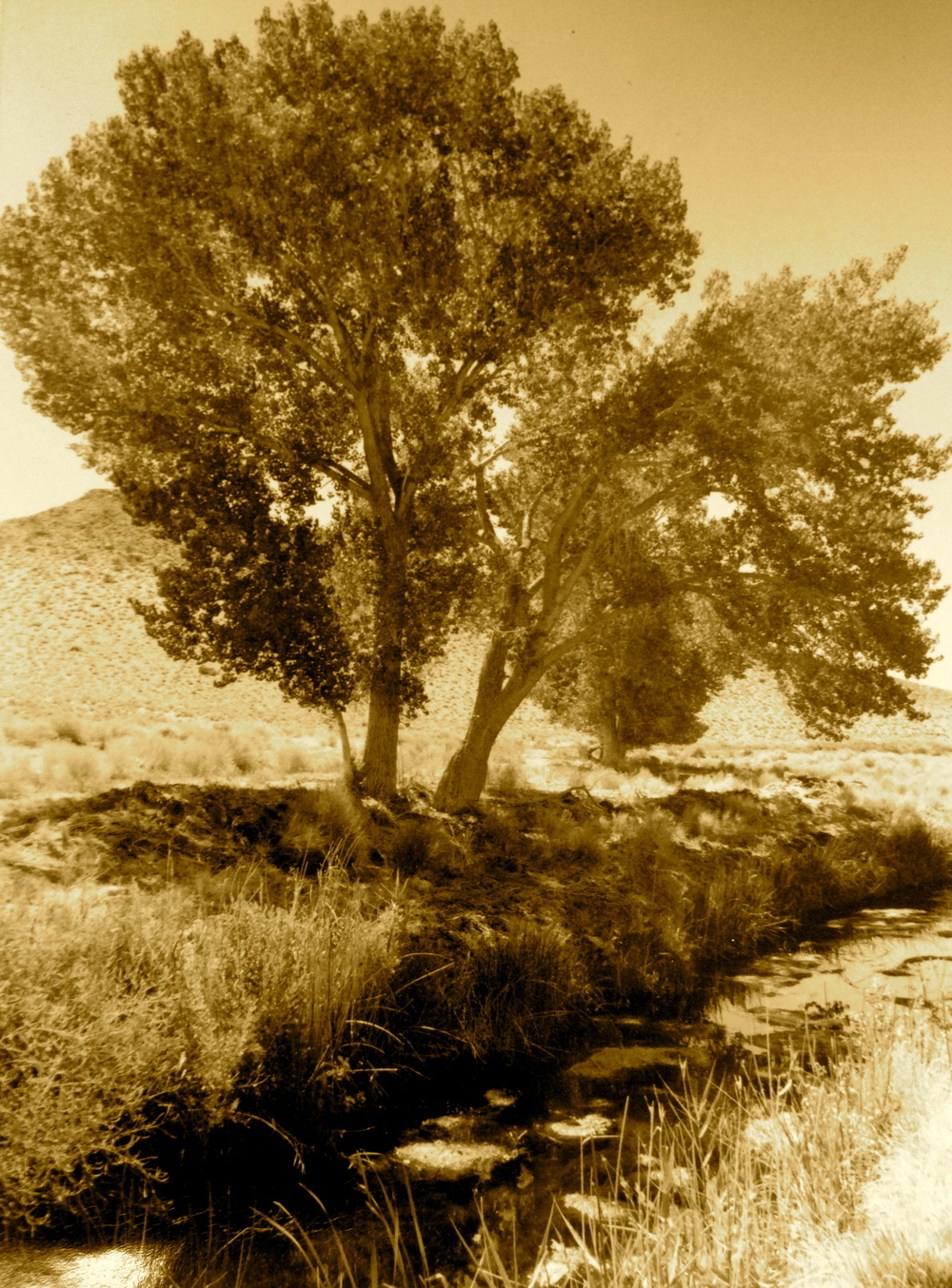 Cottonwood trees at Fish Slough, Bishop, California.