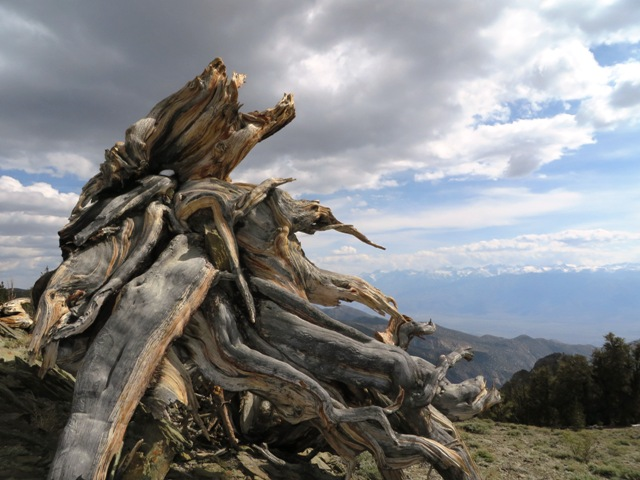 Bristlecone Stump