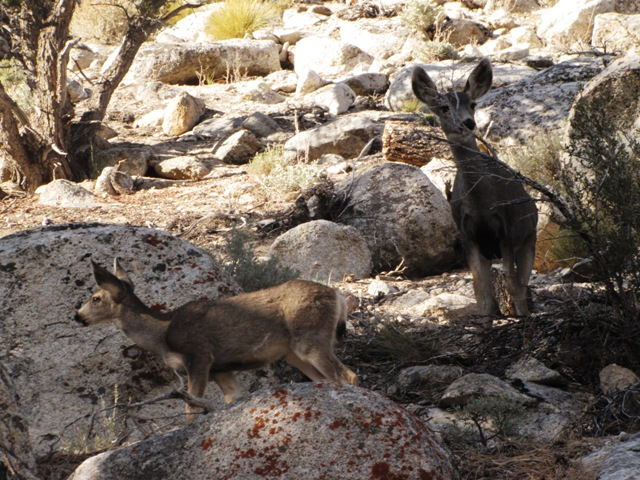 Mule Deer near Whitney Portal