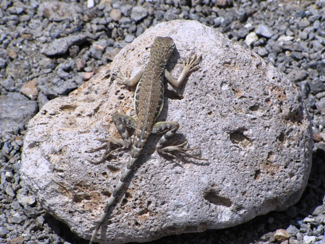 Zebra Lizard in the Owens Valley