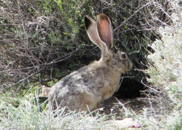 Jackrabbit in the Owens Valley