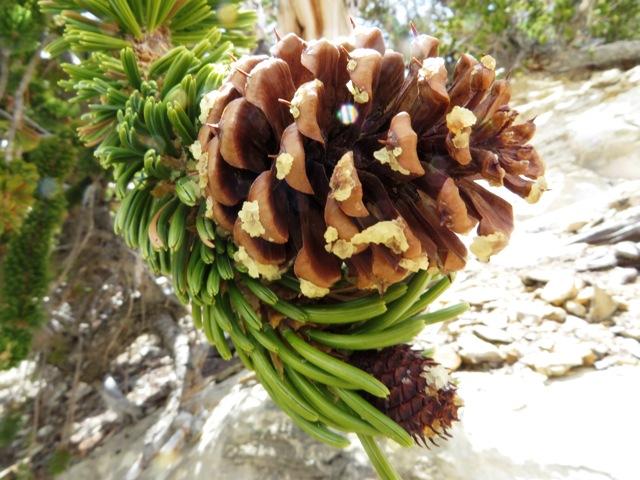 Bristlecone Pine Cone