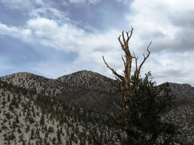 Bristlecone in the Methuselah Grove