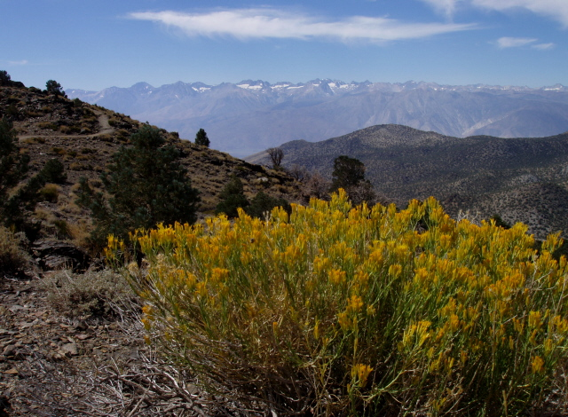 Rabbitbrush in the White Mountains