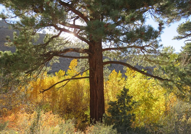 Jeffrey Pine and Quaking Aspen